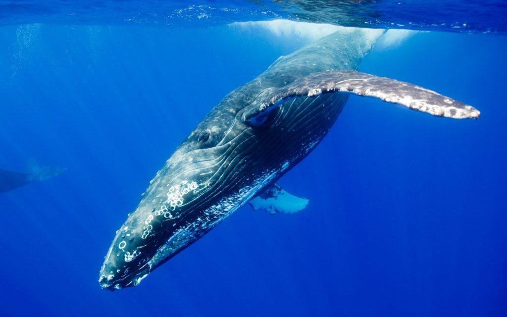 シロナガスクジラの画像 p1_19